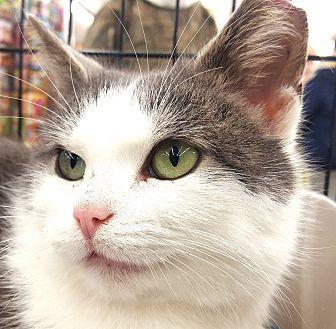 Domestic Shorthair Cat for adoption in E. Claridon, Ohio - Pebbles