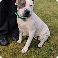 Adopt A Pet :: LILLY (Thurston Co.) sweet, smart & loving - Bainbridge Island, WA
