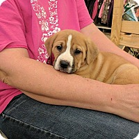 Boxer Mix Puppy for adoption in Covington, Tennessee - Grace