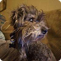 Adopt A Pet :: Jadzia - Austin, TX