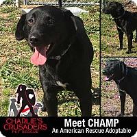 Adopt A Pet :: Champ - Spring City, PA
