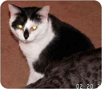 Domestic Shorthair Cat for adoption in Milford, Ohio - Guy