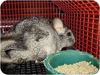 Chinchilla for adoption in Fleetwood, Pennsylvania - Ruby