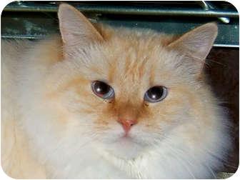 Ragdoll Cat for adoption in Centerburg, Ohio - Gremlin