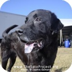 Labrador Retriever Mix Dog for adoption in Brooklyn, New York - Pasha