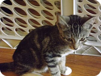Domestic Shorthair Kitten for adoption in Trevose, Pennsylvania - Tucker