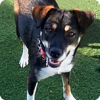 Cattle Dog/Labrador Retriever Mix Dog for adoption in Newport Beach, California - Sani: Enthusiastic Forever Friend
