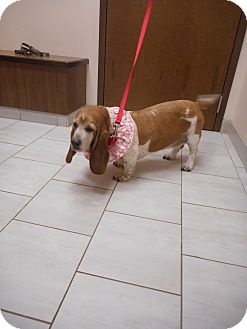 Basset Hound Dog for adoption in Barrington, Illinois - Mazey