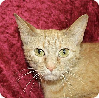 Domestic Shorthair Cat for adoption in Jackson, Michigan - Moxy