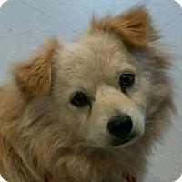 Adopt A Pet :: Trent - Brattleboro, VT
