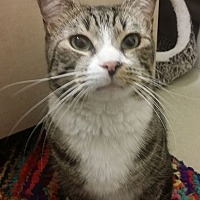 Domestic Shorthair Cat for adoption in Murrieta, California - Stewie