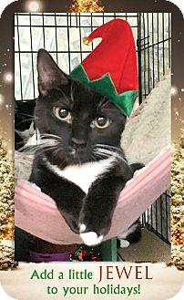 Domestic Shorthair Kitten for adoption in East Brunswick, New Jersey - Jewel