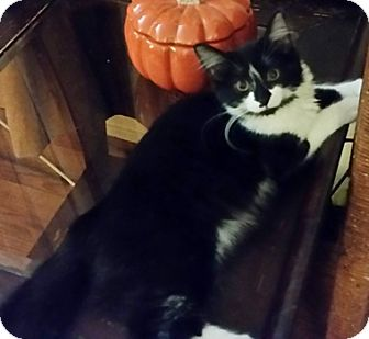 Domestic Mediumhair Kitten for adoption in North Highlands, California - Delphanna