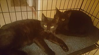 American Shorthair Kitten for adoption in Griffin, Georgia - Onyx