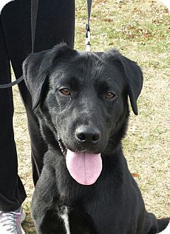 Labrador Retriever Mix Dog for adoption in LaGrange, Kentucky - Dusty