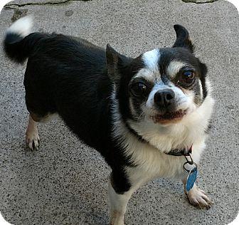 Chihuahua Mix Dog for adoption in San Diego, California - Boogle
