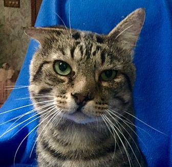 Domestic Shorthair Cat for adoption in Bloomsburg, Pennsylvania - Gabriel