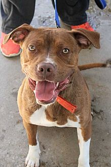 American Bulldog Mix Dog for adoption in Fort Madison, Iowa - Clark Kent