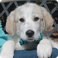 Adopt A Pet :: Boomer-PENDING - Garfield Heights, OH