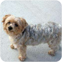 Silky Terrier Mix Dog for adoption in Beechgrove, Tennessee - Daisy