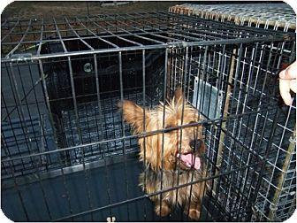 Yorkie, Yorkshire Terrier Dog for adoption in Windsor, Missouri - Charlie Brown