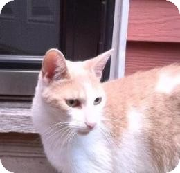 Domestic Shorthair Cat for adoption in Raritan, New Jersey - Tiger