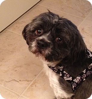 Shih Tzu/Poodle (Toy or Tea Cup) Mix Dog for adoption in Eden Prairie, Minnesota - CHARLEY
