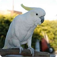Adopt A Pet :: Jester - Fountain Valley, CA