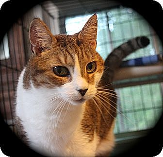 Domestic Shorthair Cat for adoption in Middletown, Connecticut - Rebecca