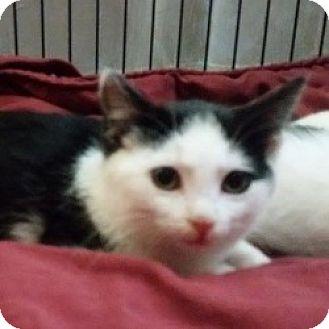 Domestic Shorthair Kitten for adoption in Edmonton, Alberta - Moose Shrek
