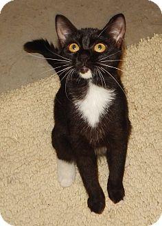 Domestic Shorthair Kitten for adoption in Plano, Texas - HARMONY - PRETTY ORPHAN TUXEDO