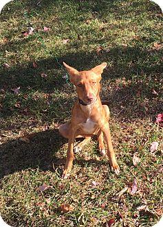 Vizsla/Shepherd (Unknown Type) Mix Puppy for adoption in Middlesex, New Jersey - Jedi