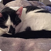 American Shorthair/Domestic Shorthair Mix Cat for adoption in Mooresville, North Carolina - Ranger