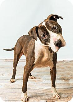 Pit Bull Terrier Mix Dog for adoption in Hendersonville, North Carolina - Noah