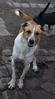 Jack Russell Terrier Mix Dog for adoption in Ringoes, New Jersey - Winky