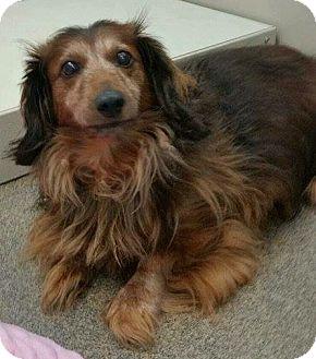 Dachshund Dog for adoption in Aurora, Colorado - Wicket