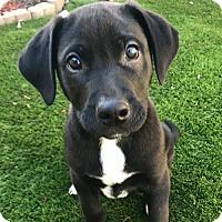 Adopt A Pet :: Kylo - Sunnyvale, CA