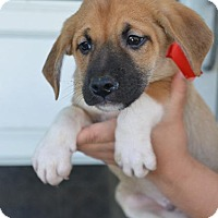 Adopt A Pet :: Happy - Danbury, CT