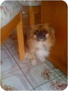 Pekingese Dog for adoption in Richmond, Virginia - Millie