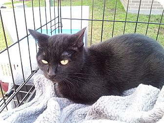 Domestic Shorthair Cat for adoption in Fort Worth, Texas - Thunder