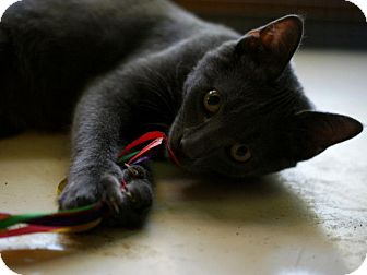 Russian Blue Kitten for adoption in Pocahontas, Arkansas - Momo
