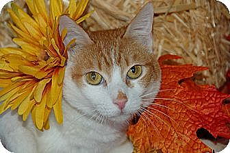 Domestic Shorthair Cat for adoption in Flower Mound, Texas - Fettachini