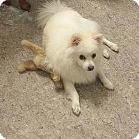 Adopt A Pet :: Spiri - Elmhurst, IL