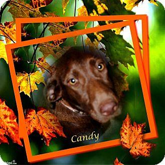 Labrador Retriever Mix Dog for adoption in Crowley, Louisiana - Candy