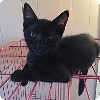 Domestic Shorthair Kitten for adoption in Old Bridge, New Jersey - Furball