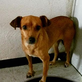 Terrier (Unknown Type, Medium)/Chihuahua Mix Dog for adoption in Dana Point, California - Aadi