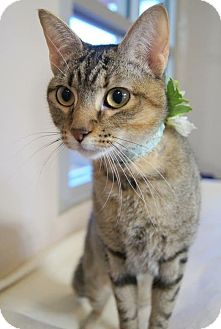 Domestic Shorthair Cat for adoption in Plano, Texas - NATALIE - SUPER SOCIAL & SWEET