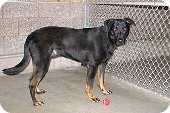 Labrador Retriever/Doberman Pinscher Mix Dog for adoption in Ruidoso, New Mexico - Snoop