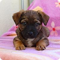 Adopt A Pet :: Darcie - Los Angeles, CA