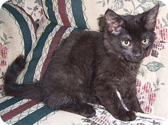 Maine Coon Kitten for adoption in Gray, Tennessee - Salem